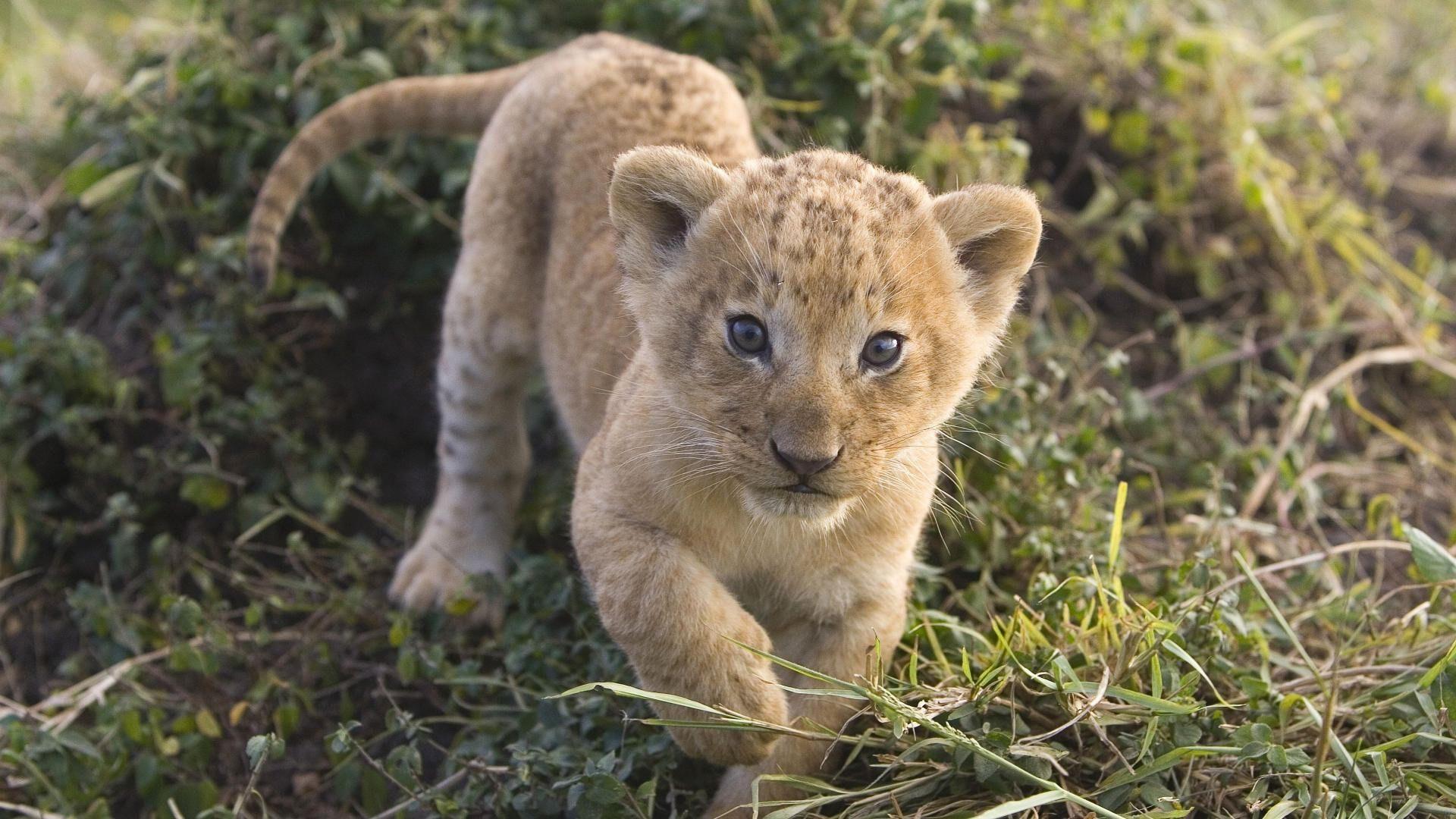 animali-leoni-leone-cucciolo-cuccioli-di-animali