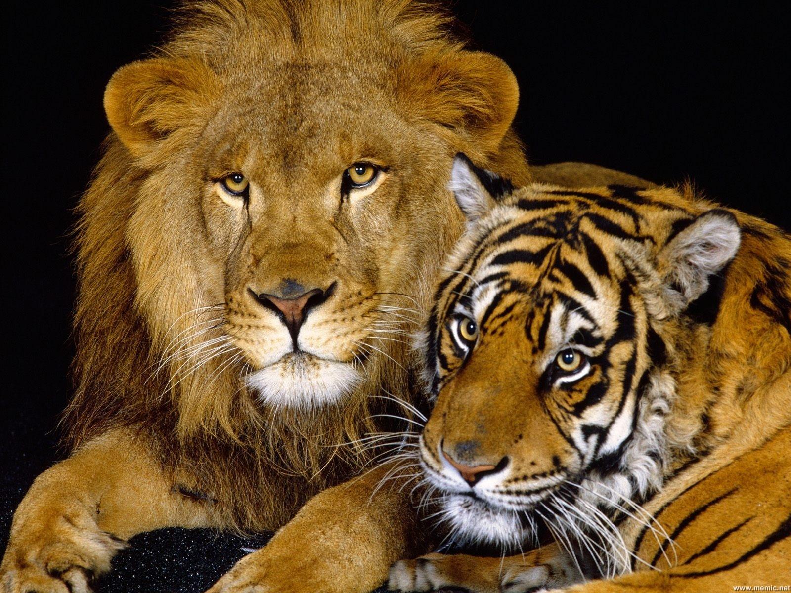 leone-tigri